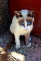 Blue eyes cat - PhotoDune Item for Sale