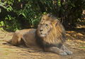 Male Lion - PhotoDune Item for Sale