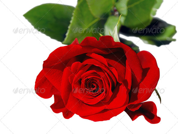 Red Rose on White - Stock Photo - Images