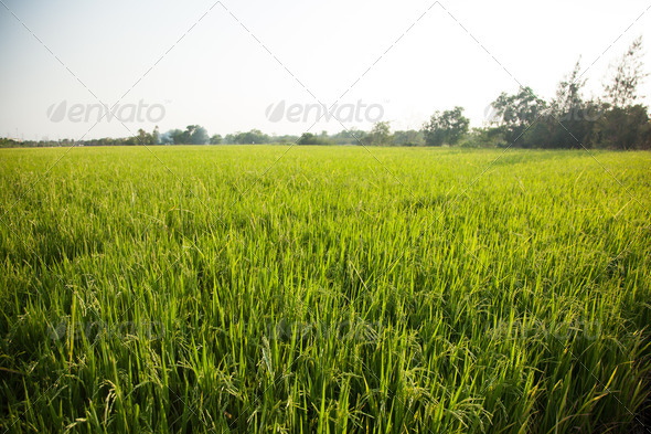 Rice and rice fields. - Stock Photo - Images