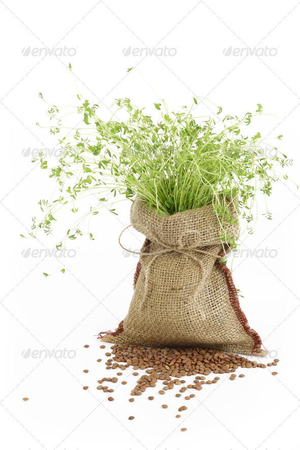 Lentil plant in a burlap sack - Stock Photo - Images