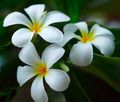 White plumeria. - PhotoDune Item for Sale