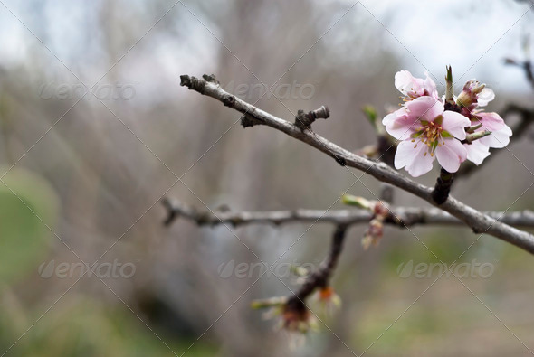 Almond tree with white pink flowers with branches - Stock Photo - Images
