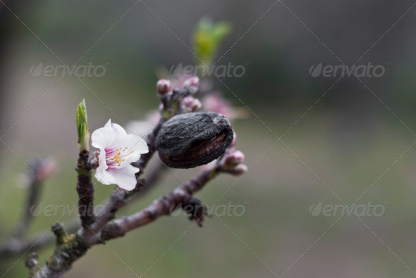 Almond tree - Stock Photo - Images