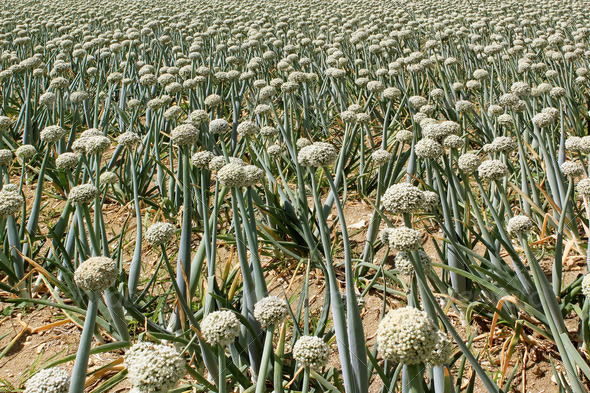 onion field - Stock Photo - Images