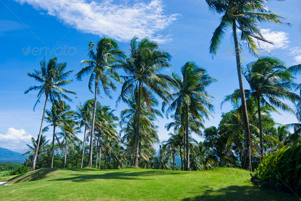 Coconut Trees - Stock Photo - Images