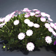 Cape marigold bush - 3DOcean Item for Sale