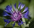 Macro of cornflower (Centaurea cyanus) - PhotoDune Item for Sale