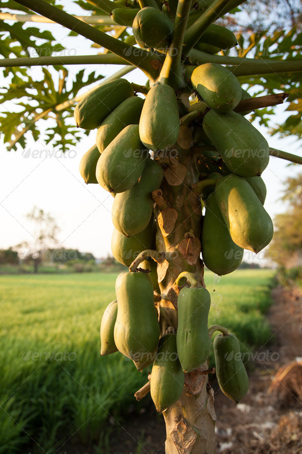 Papaya trees. - Stock Photo - Images