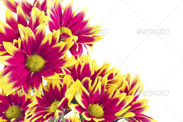 Closeup of pink daisy - gerbera. - Stock Photo - Images