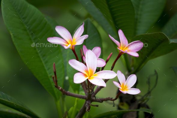 Фото цветка жасмина розовый