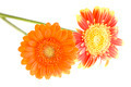 Orange and yellow gerbera daisy family - PhotoDune Item for Sale