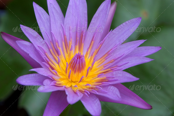 Purple Lotus - Stock Photo - Images