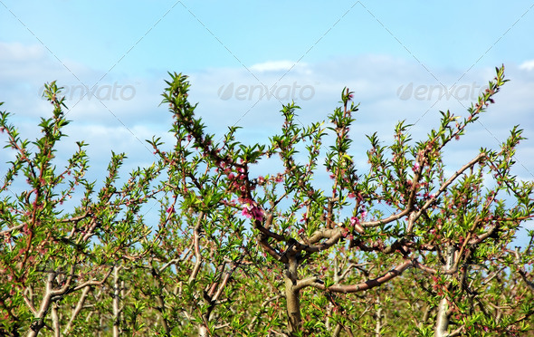 Branch  of peach tree - Stock Photo - Images