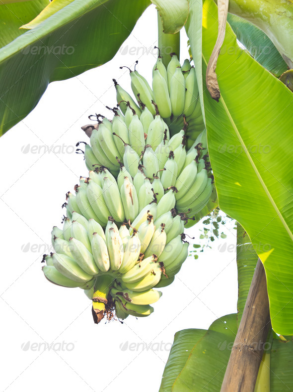 Green Banana - Stock Photo - Images