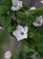 Quince Flowers - PhotoDune Item for Sale