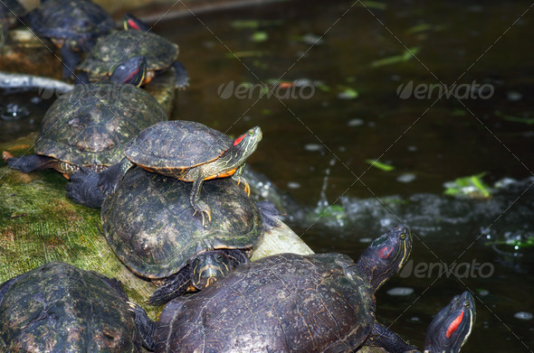 tortoises on waters edge - Stock Photo - Images