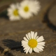 Daisies on the ground - PhotoDune Item for Sale