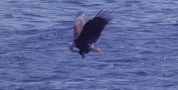 Bald Eagle Catching Fish VideoHive Stock Footage  Nature 238734