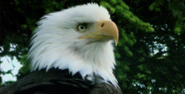 Bald Eagle Head Shot VideoHive Stock Footage  Nature 238772