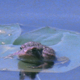 Toad Pivots on Lilly Pad - VideoHive Item for Sale