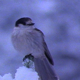 Gray Jay in Snow:2 shot sequence - VideoHive Item for Sale
