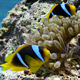 Clown Anemonefish In Coral Reef - VideoHive Item for Sale
