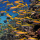 Shoal Of Yellow Fish On The Coral Reef - VideoHive Item for Sale