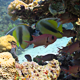 Bannerfish On Coral Reef - VideoHive Item for Sale