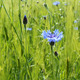 Single Cornflower - VideoHive Item for Sale