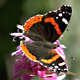Red Admiral Butterfly - VideoHive Item for Sale