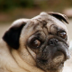 Pug Dog On Street Sidewalk - VideoHive Item for Sale