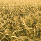 Golden Wheat Field - VideoHive Item for Sale