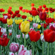 Lawn With Tulips - VideoHive Item for Sale