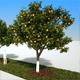 Orange tree - 3DOcean Item for Sale