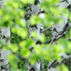 Spring Birch Grove - VideoHive Item for Sale
