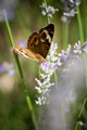 Butterfly Feeding on Flower - PhotoDune Item for Sale