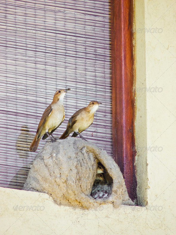 Rufous Hornero Family - Stock Photo - Images