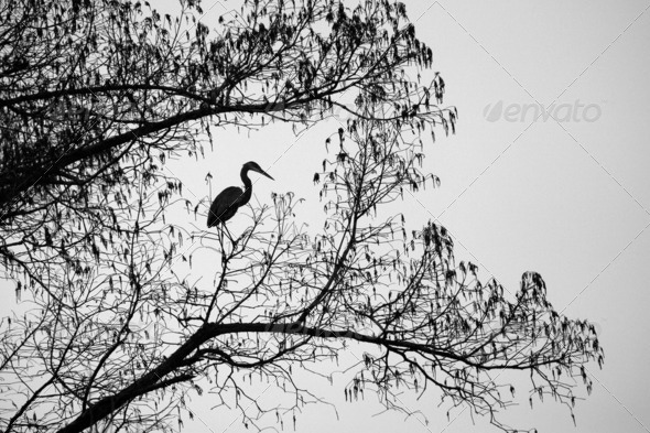 Grey Heron Perched on a Tree - Stock Photo - Images