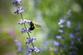 Bumble Bee On Flower - PhotoDune Item for Sale