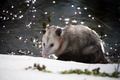 Opossum Hunting by Water - PhotoDune Item for Sale