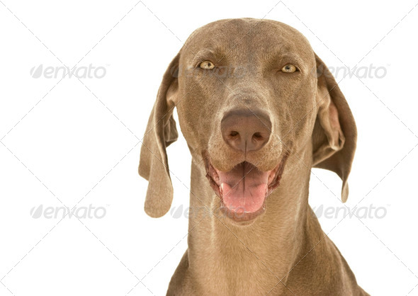 Happy Weimaraner dog - Stock Photo - Images