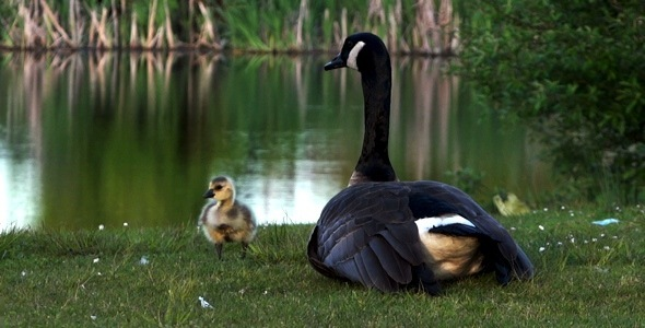 VideoHive Goose Family 1 2379717