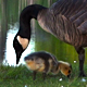 Goose Family 3 - VideoHive Item for Sale