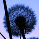 Dandelion Silhouette Loop - VideoHive Item for Sale