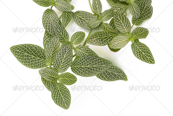 Nerve Plant - Stock Photo - Images