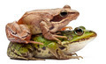 Common European frogs, Rana esculenta, and a Moor Frog, Rana arvalis on white  - PhotoDune Item for Sale