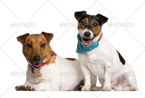 Royalty Free Stock Photography : Two Jack Russell Terriers sitting in