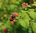 Black Raspberry - PhotoDune Item for Sale