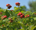 Kentucky Black Raspberries - PhotoDune Item for Sale